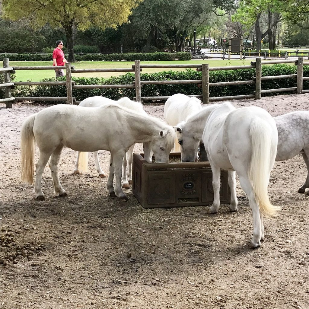 5 White ponies eating out of a trough