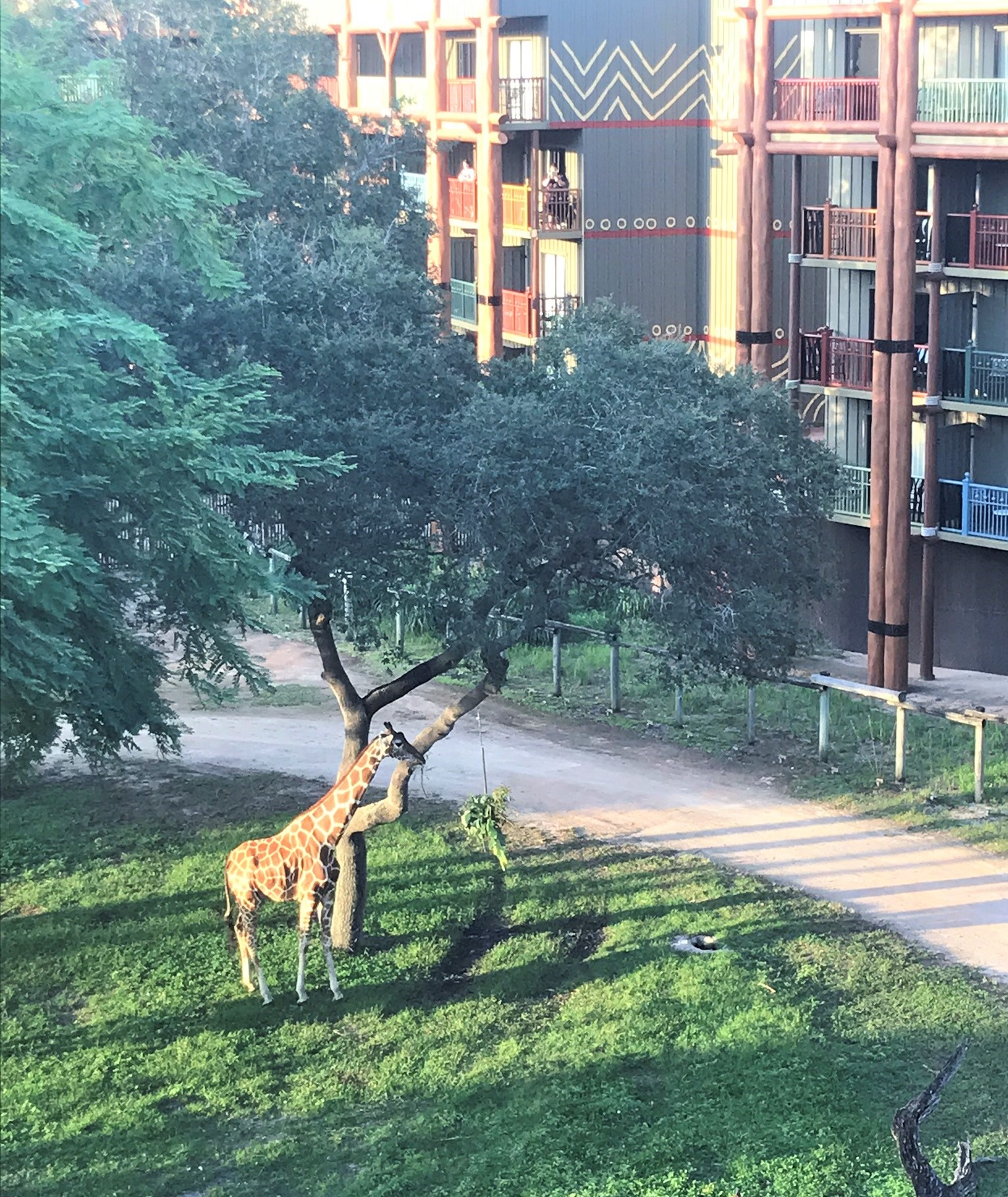 giraffe eating leaves at animal kingdom lodge