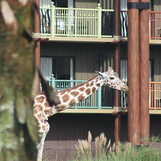 giraffe at Disney's Animal Kingdom Lodge